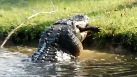 Γιγαντιαίος αλιγάτορας κατάπιε κροκόδειλο δύο μέτρων (ΒΙΝΤΕΟ)