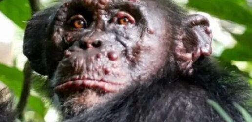 λέπρα χιμπατζήδες