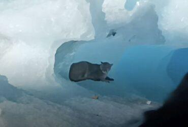 Παταγονία: Πούμα καθόταν αμέριμνο σε παγόβουνο και εξέπληξε τους τουρίστες (BINTEO)