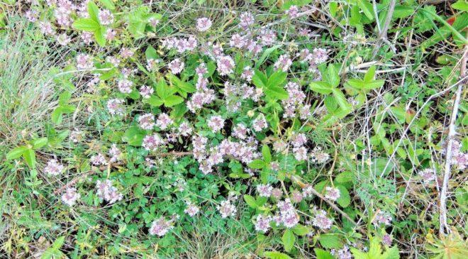 Το βότανο που μας προστατεύει από τον καρκίνο του παχέος εντέρου και την υπέρταση!