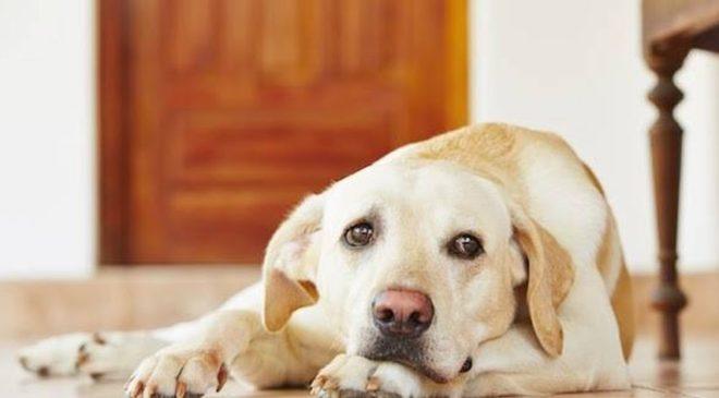 κορονοϊό σκύλοι