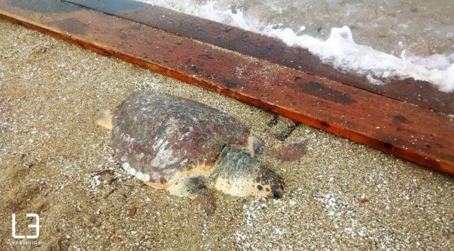 Νεκρές χελώνες καρέτα-καρέτα σε παραλίες της Ελλάδας μέσα σε λίγες ώρες