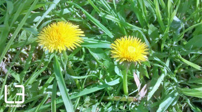 Ταραξάκο: Ταπεινό ραδικάκι ή θαυματουργό βότανο;
