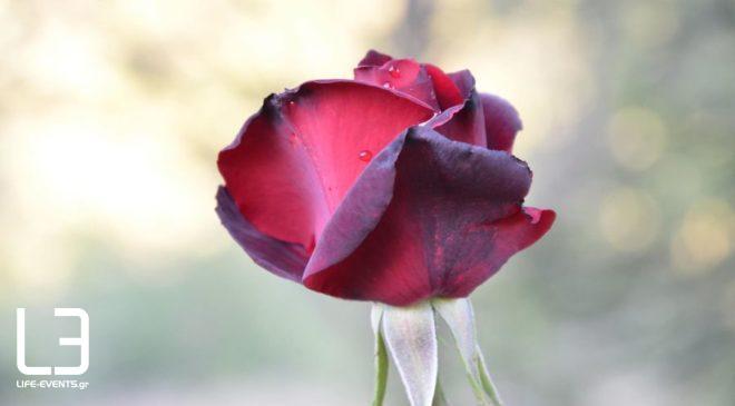 Θεσσαλονίκη: Tα τριαντάφυλλα έχουν την τιμητική τους έχουν  στα ανθοπωλεία